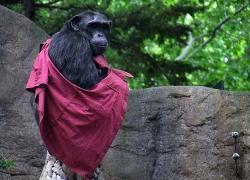 Los Chimpancés y Su Memoria
